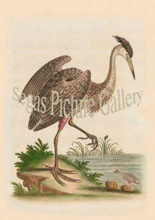 Heron, Ash-Coloured, from North-America